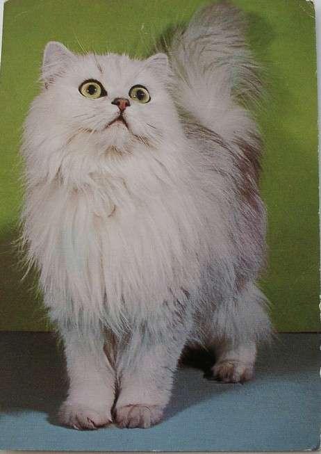 بالصور صور قطط شيرازي , اشكال لقط الشيراز الكيوووت 3127 6