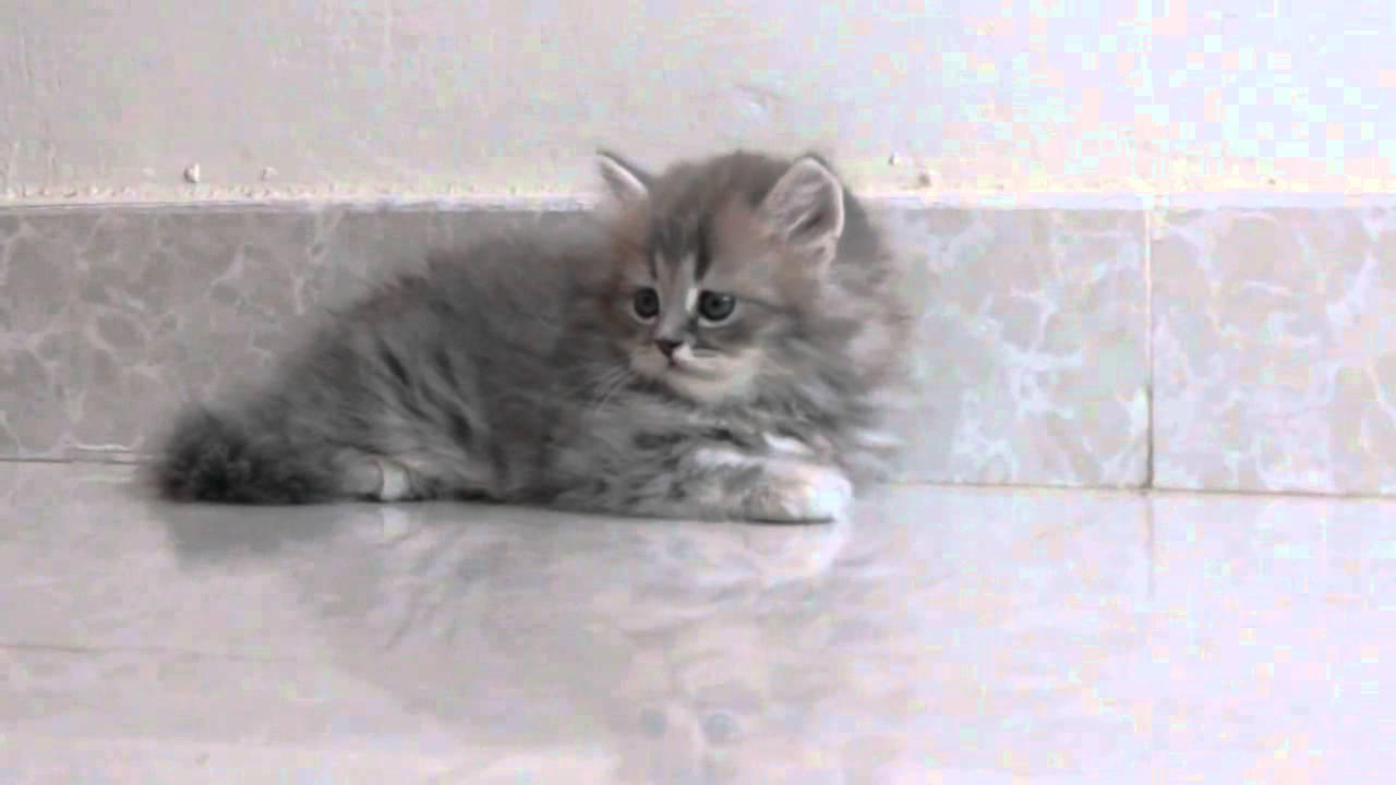 بالصور صور قطط شيرازي , اشكال لقط الشيراز الكيوووت 3127 8