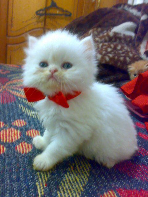 بالصور صور قطط شيرازي , اشكال لقط الشيراز الكيوووت 3127 9