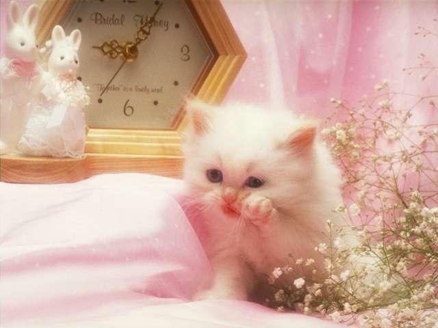 بالصور صور قطط شيرازي , اشكال لقط الشيراز الكيوووت 3127