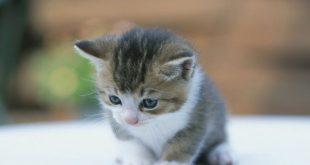 بالصور صور قطط صغيرة , اجمل صور للقطط الصغيرة الاليفة 3493 13 310x165