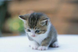 بالصور صور قطط صغيرة , اجمل صور للقطط الصغيرة الاليفة 3493 13 310x205