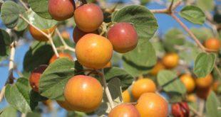 صوره ما هو السدر , ما هو نبات السدر البري والزراعي