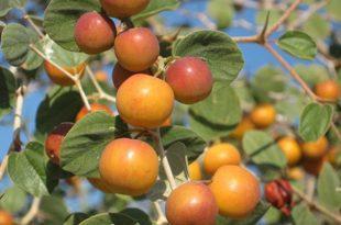 بالصور ما هو السدر , ما هو نبات السدر البري والزراعي 3500 3 310x205