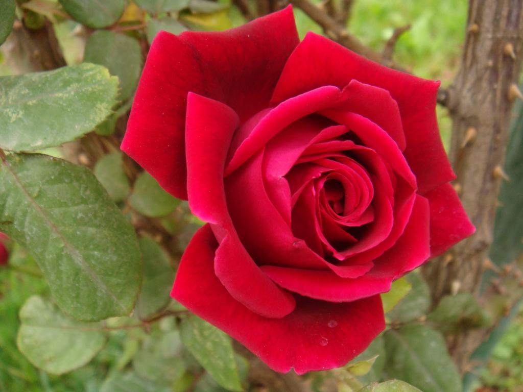 بالصور صور ورود روعه , اجمل صور الورود الرقيقة 3469 1
