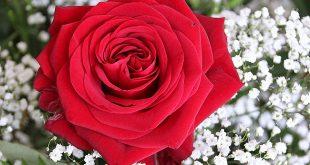 صوره صور ورود روعه , اجمل صور الورود الرقيقة