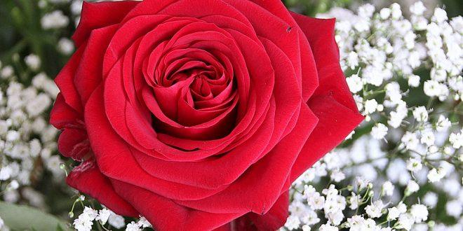 صور صور ورود روعه , اجمل صور الورود الرقيقة