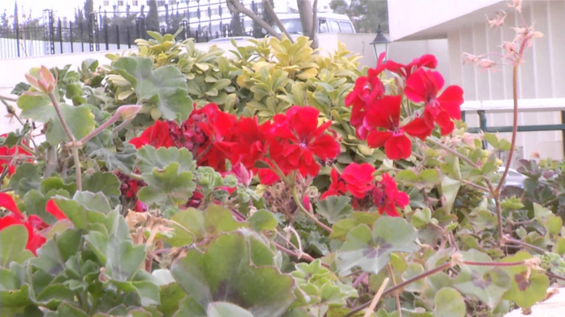 بالصور اجمل وردة في العالم , الورد وما اجمل الورود 3587 1