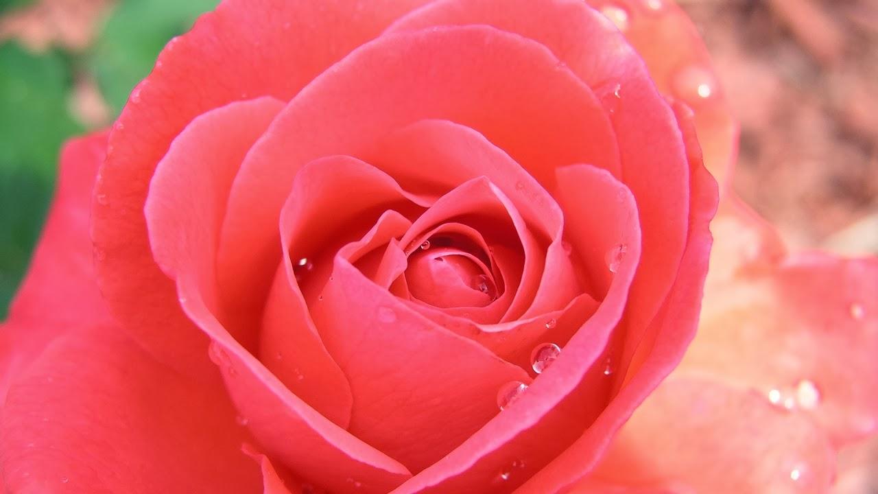 بالصور اجمل وردة في العالم , الورد وما اجمل الورود 3587 3