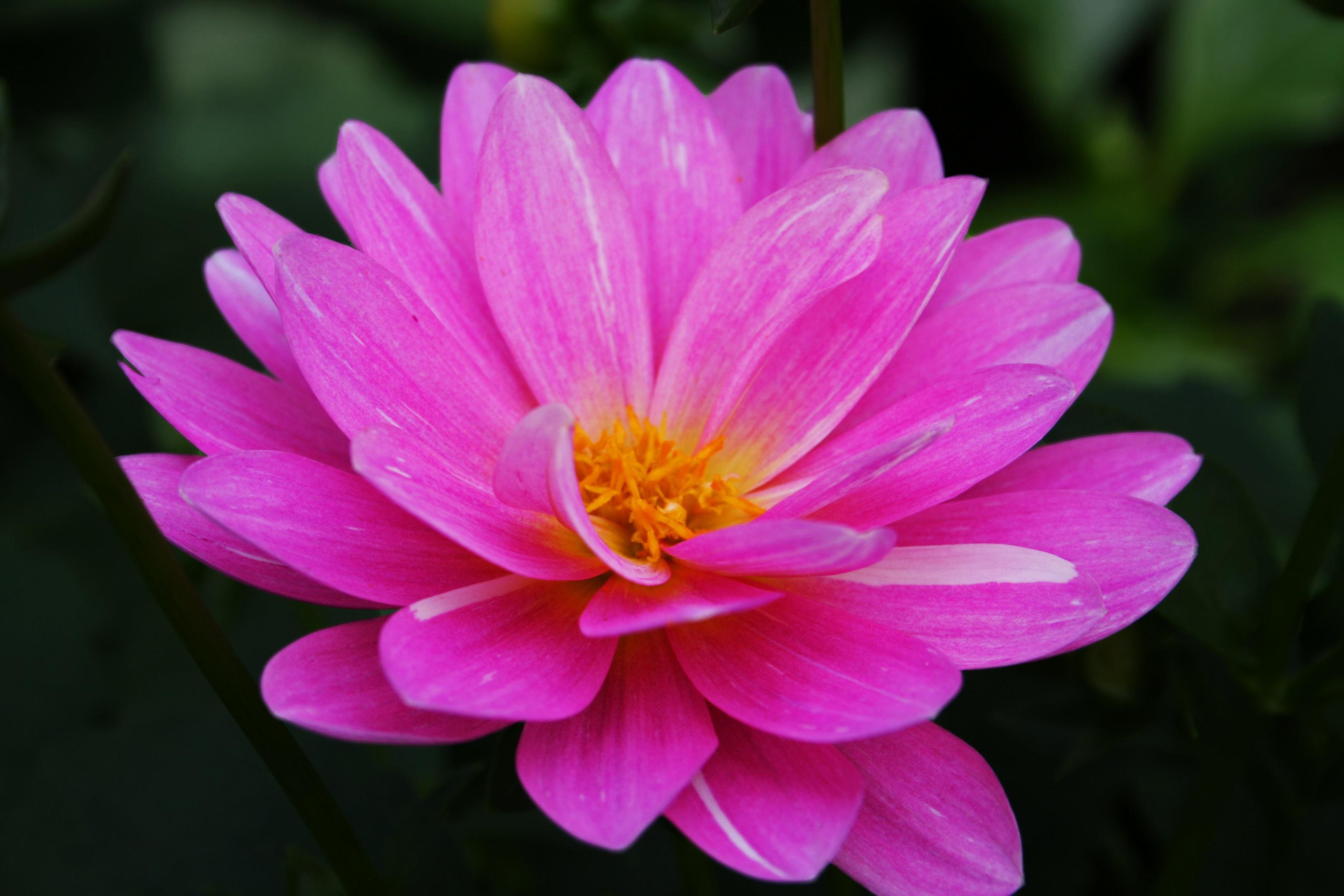 بالصور اجمل وردة في العالم , الورد وما اجمل الورود 3587 4