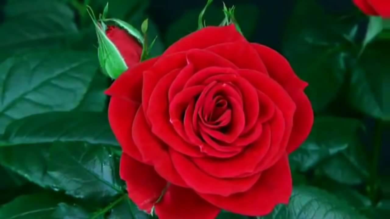 بالصور اجمل وردة في العالم , الورد وما اجمل الورود 3587 5