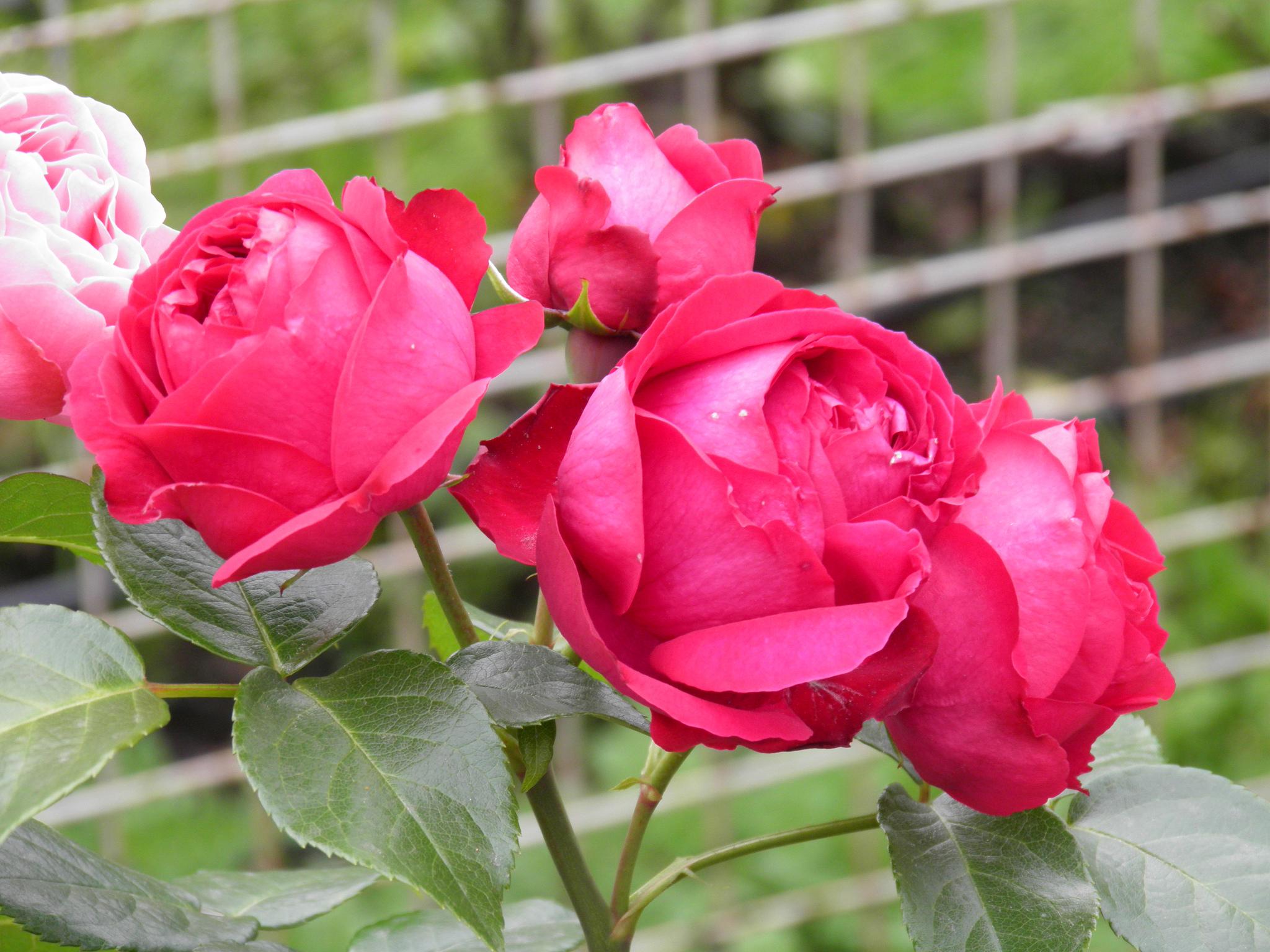 بالصور اجمل وردة في العالم , الورد وما اجمل الورود 3587 7