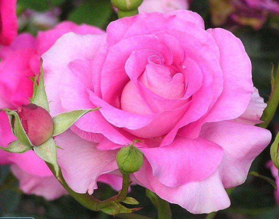 بالصور اجمل وردة في العالم , الورد وما اجمل الورود 3587 8