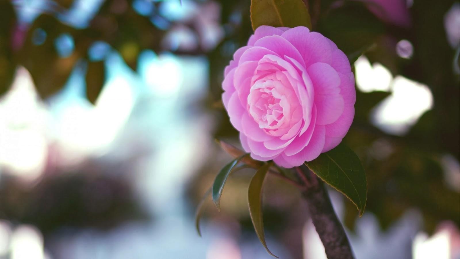بالصور ورد طبيعي , اجمل صور للورد الطبيعي 3908 14