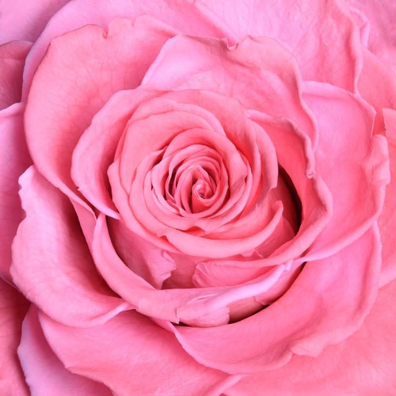بالصور اجمل ورود الحب , صور ورود الحب الجميلة 3921 9