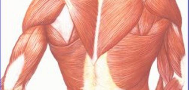 صور كم عدد عضلات جسم الانسان , معلومات عن عدد عضلات جسم الانسان