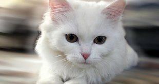 بالصور خلفيات قطط , رمزيات قطط تجنن 4090 13 310x165