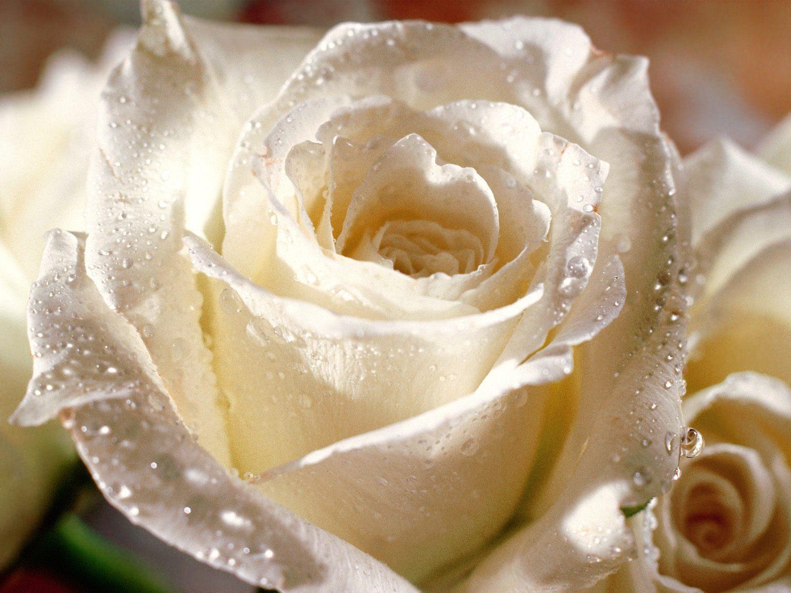 بالصور صور اجمل الورود , صورة احلى الورود فى العالم 5136 6