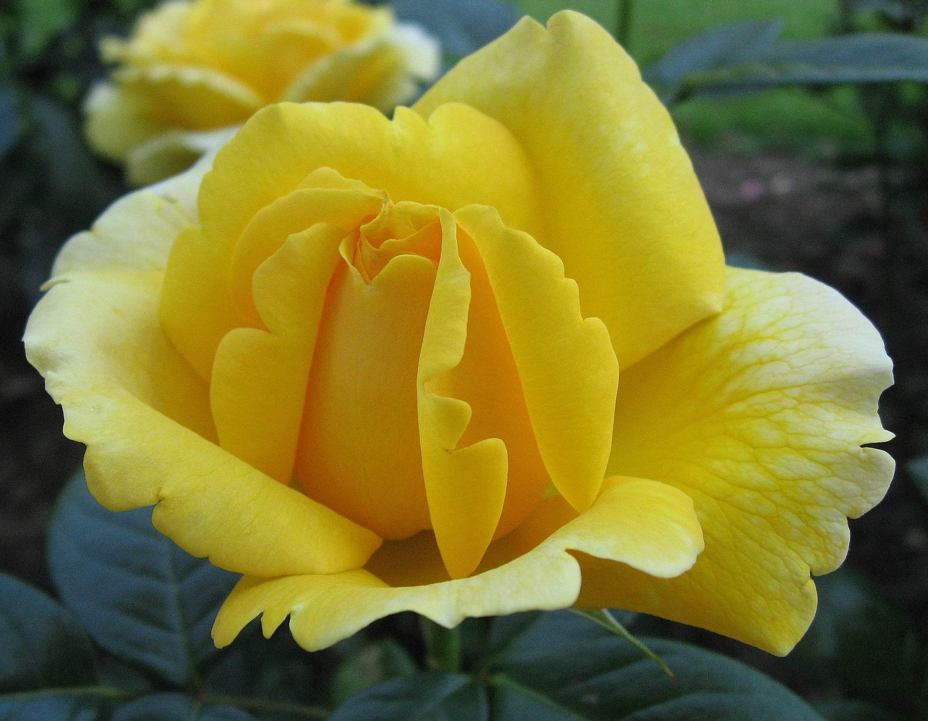 بالصور صور اجمل الورود , صورة احلى الورود فى العالم 5136 7