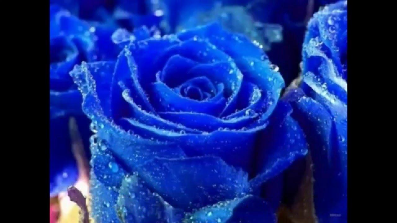 بالصور صور اجمل الورود , صورة احلى الورود فى العالم 5136 9