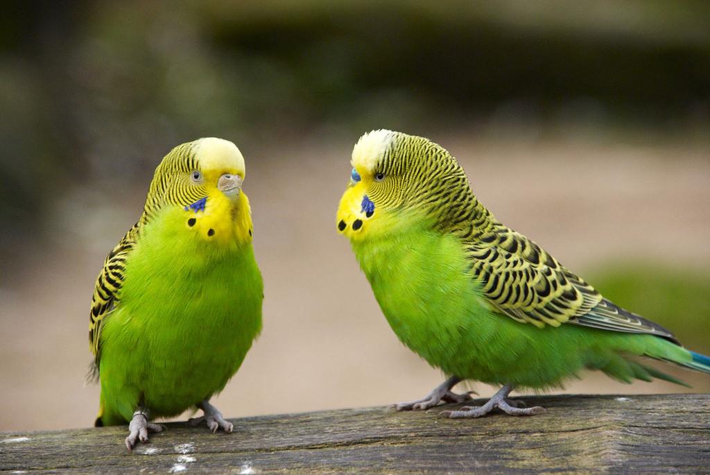 بالصور صور عصافير , اجمل صور عصافير ملونه 5696 3