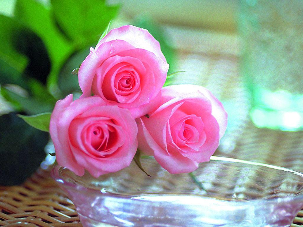 بالصور احلى صور ورد , اجمل واروع صور الورود فى العالم 5699 1