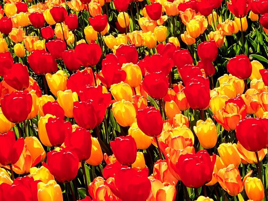 بالصور احلى صور ورد , اجمل واروع صور الورود فى العالم 5699 11