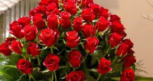 بالصور احلى صور ورد , اجمل واروع صور الورود فى العالم 5699 13 310x165