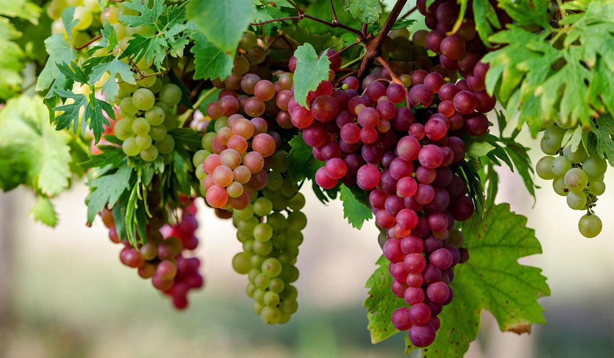 صور فوائد العنب الاحمر , تعرف على الفايدة السحرية لتناول العنب الاحمر
