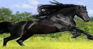 بالصور الحلم بالحصان الاسود , تفسير الحصان في المنام 11111 2 310x165