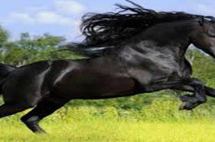 بالصور الحلم بالحصان الاسود , تفسير الحصان في المنام 11111 2 310x205