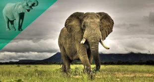 صورة معلومات غريبة عن الفيل , حقائق لا تعرفها عن الفيل