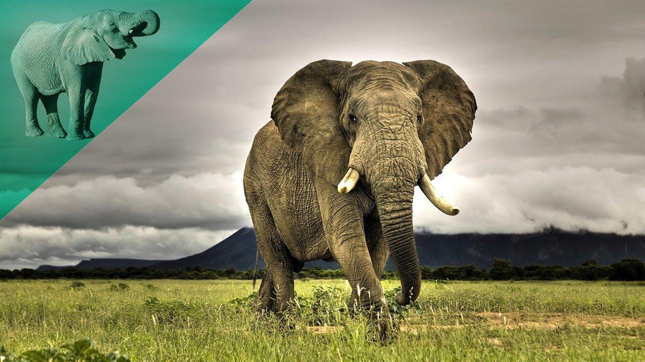 صور معلومات غريبة عن الفيل , حقائق لا تعرفها عن الفيل