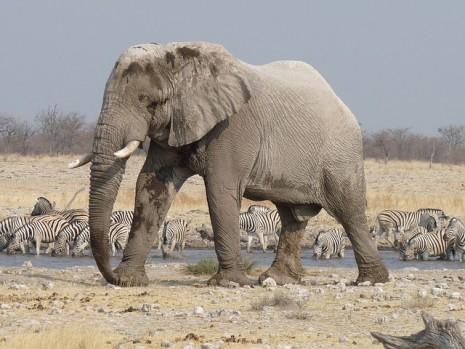 صور رؤية فيل في المنام , تفسير رؤية الفيل في الحلم