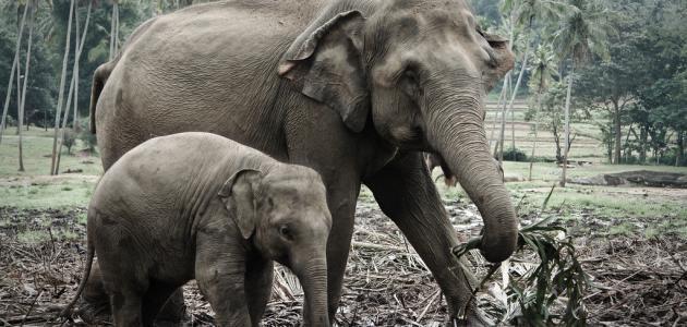 صور اسم صغير الفيل , معلومات عن الفيل الطفل