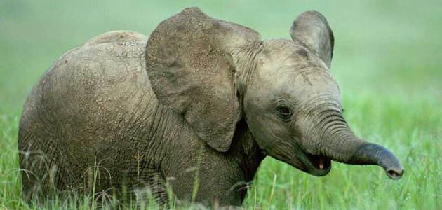 صورة اسم صغير الفيل , معلومات عن الفيل الطفل