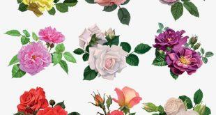 صور انواع الورود بالصور , صور لاجمل وارق ورود العالم