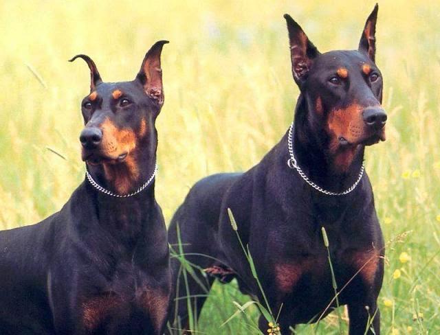 صورة اخطر انواع الكلاب , احترس من هذه الانواع من الكلاب