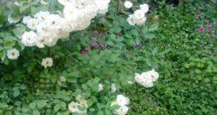 صور انواع الورد ومعانيه بالصور , معاني انواع الورود وتاثيرها على البشر
