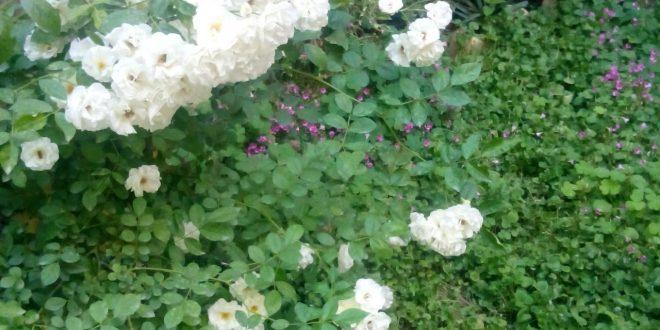 صورة انواع الورد ومعانيه بالصور , معاني انواع الورود وتاثيرها على البشر