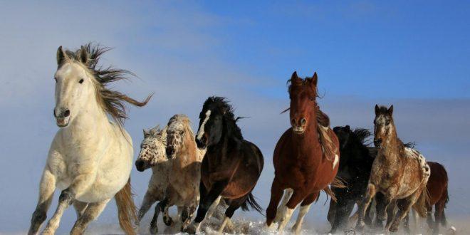 صور اجمل خيول في العالم , شاهد خفة و جمال الخيل