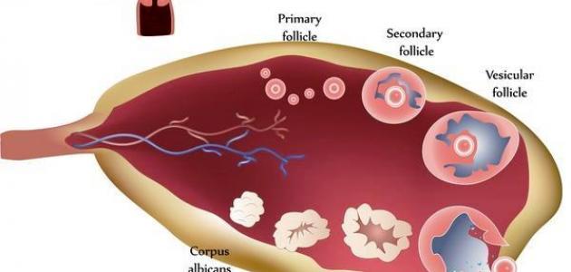 صورة علاج ضعف المبايض , ضعف المبايض اعراض واسباب وطريقة علاج