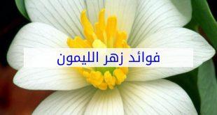 صورة زهر الليمون , فوائد هامة واستخدامات عديدة لزهر الليمون تعرف عليها
