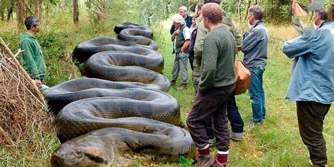صورة اكبر ثعبان في العالم، ثعبان يلد ولا يبيض
